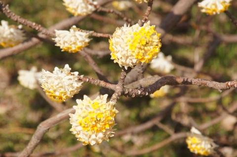 ミツマタの木