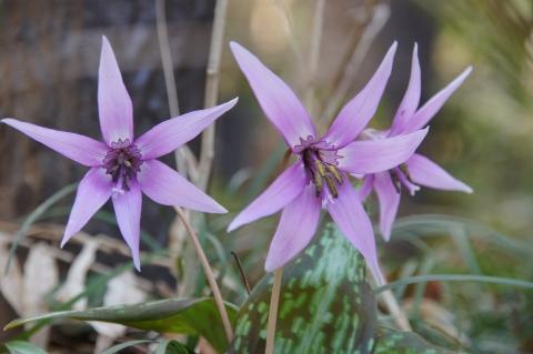 にぎやかなカタクリの花