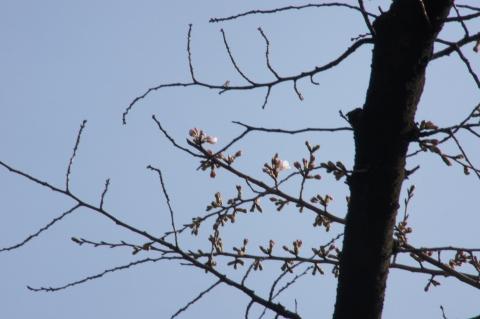 標準木の桜