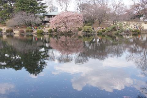 水面に映える修善寺寒桜