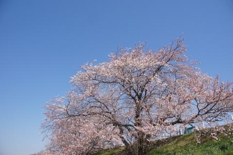 多摩川土手の桜