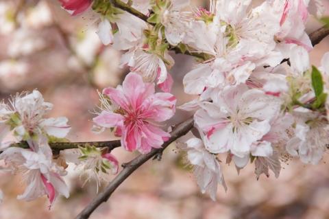 白花に桃花