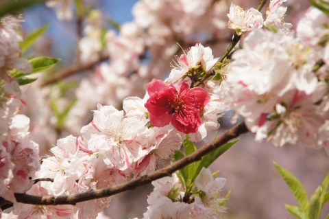 白花に紅花