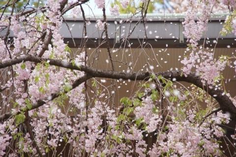 枝垂桜の花吹雪