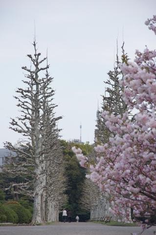 桜とプラタナスと東京タワーと