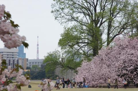 桜の木と東京タワー