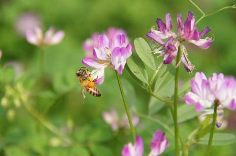 レンゲ草に集まるミツバチ
