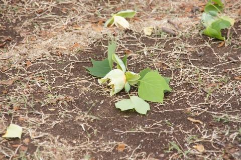 落とされたユリノキの花