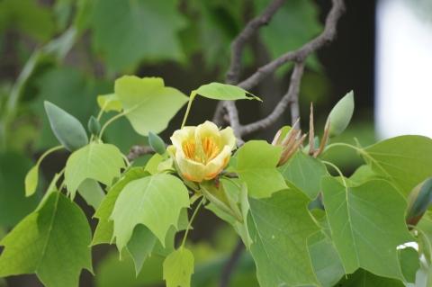 チューリップのような花