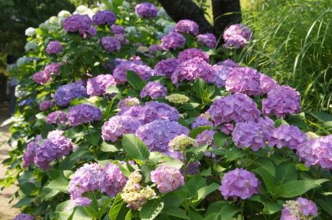 続く紫陽花