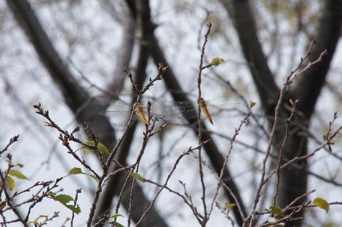 桜の枝に止まるアキアカネ