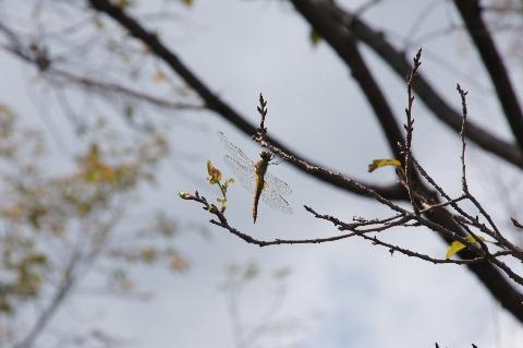 枝のようなアキアカネ