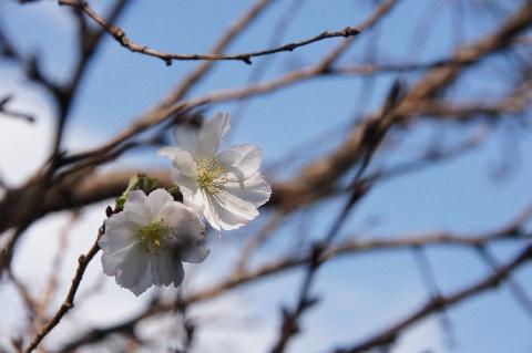 秋空に映える十月桜