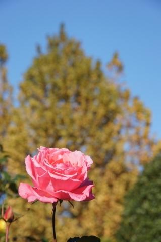 秋バラとプラタナス