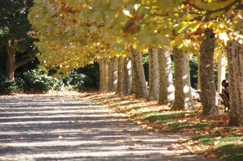 プラタナス並木の影