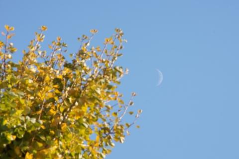 イチョウと月
