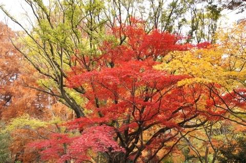 イロハカエデの紅葉