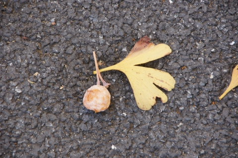 仲良しのイチョウの実とイチョウの葉