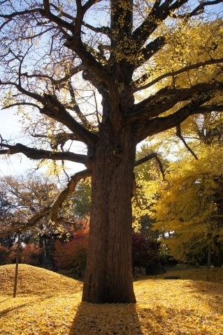 胸を張るイチョウの木