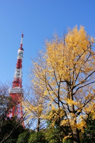 イチョウと東京タワー