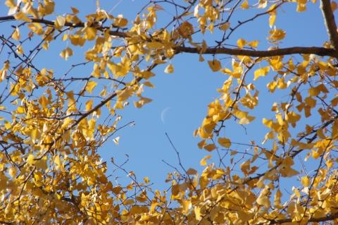 いちょうの葉に囲まれた月