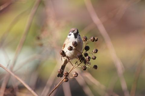 サルスベリの実を物色するスズメ