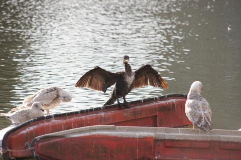 翼を広げる鵜