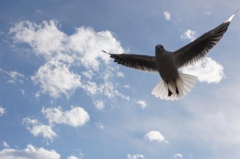 ユリカモメ飛ぶ