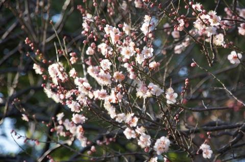 花数が増えた紅梅