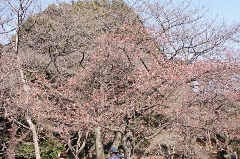 咲きはじめたばかりの寒桜