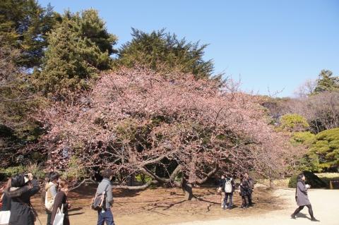 日本庭園の寒桜