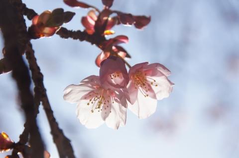 日差しを喜ぶ寒桜