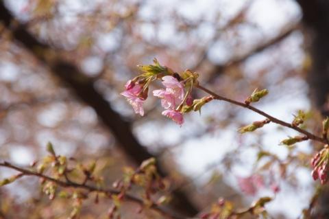 咲きはじめた河津桜