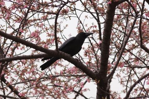 修善寺寒桜とカラス