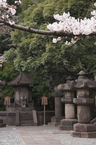 二代将軍徳川秀忠公夫妻の宝塔と桜