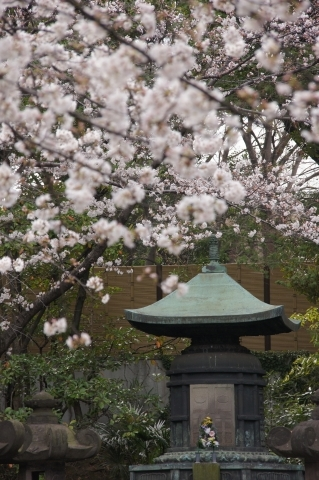 六代将軍徳川家宣公夫妻の宝塔と桜