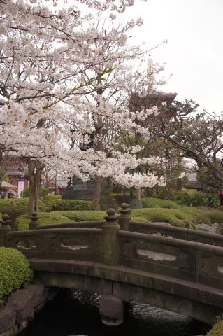 浅草寺五重塔と桜