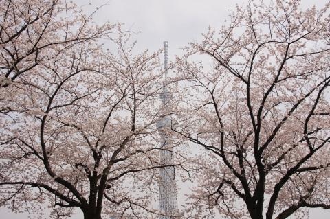 サクラに包まれた東京スカイツリー