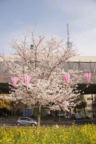 桜と菜の花と東京スカイツリー