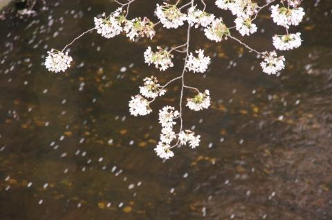 川を流れる桜