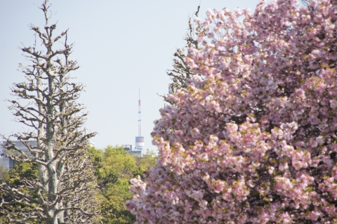 桜と東京タワー