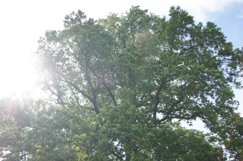 ユリノキの大木