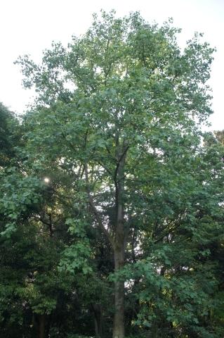 シナユリノキの高木