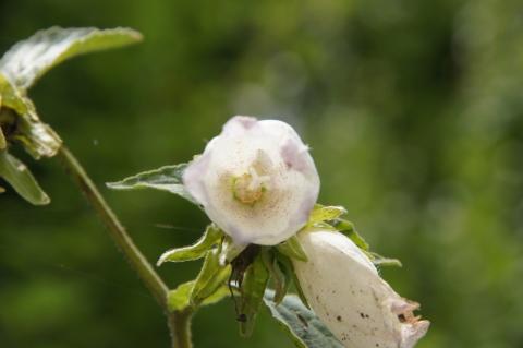 雌花期のホタルブクロ