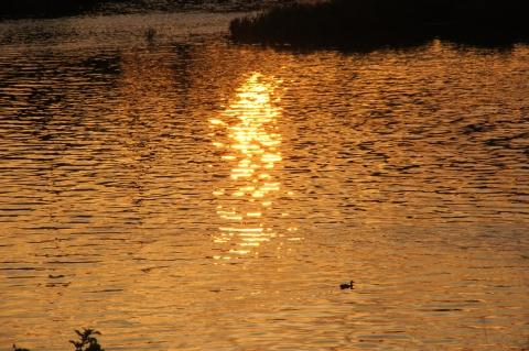 オレンジに染まる川とカモ