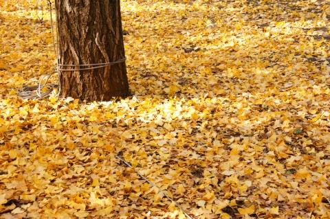 散り敷いたイチョウの葉