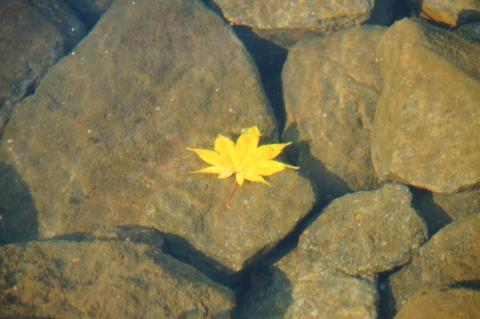 池に落ちたカエデ
