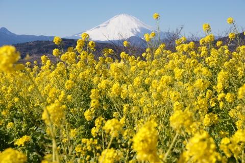 菜の花の海と富士山