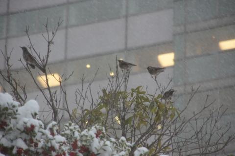 雪の中のムクドリ