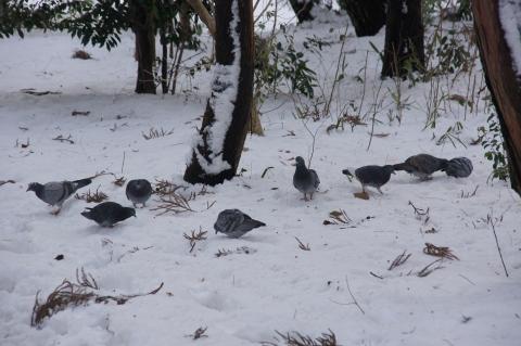 雪の上のハト